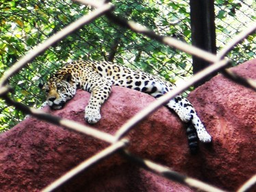 Leopard at Zoo Park