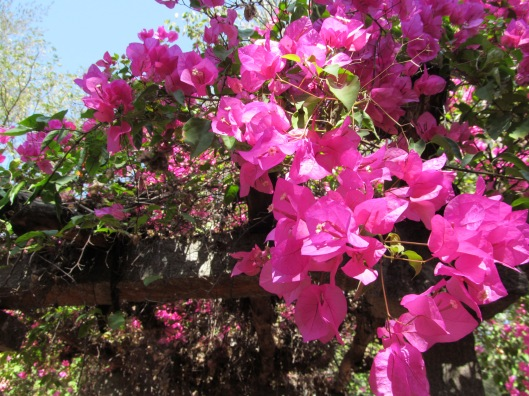 Bright Fuchsia Colored Bougainvillea